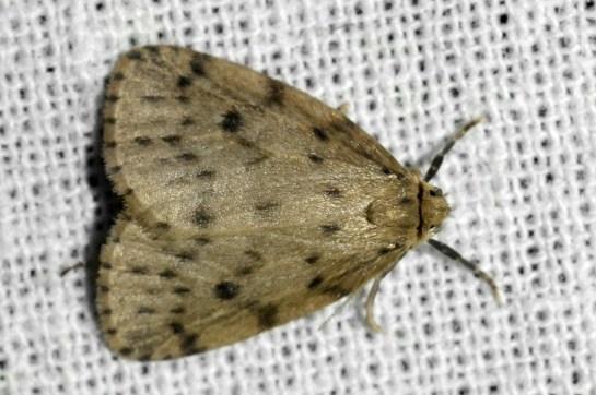 T.senex