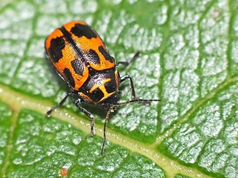 C.sexpuncttaus