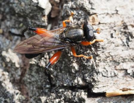 Chalcosyrphus