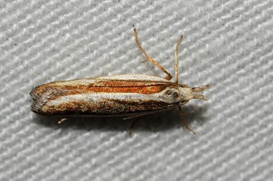 D.marginella