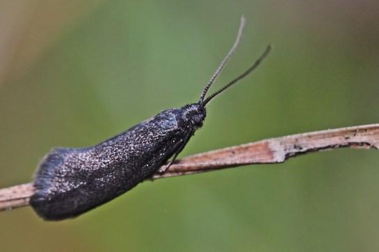 L.maurella