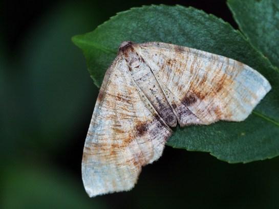 P.dolabraria