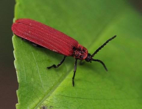 P.nigroruber