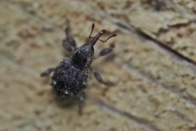T.hispidus