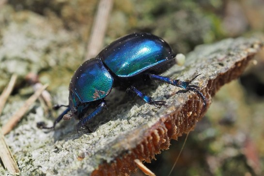 T.vernalis
