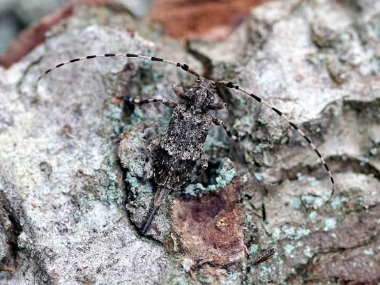 A. reticulatus female