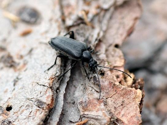 A.septentrionis female