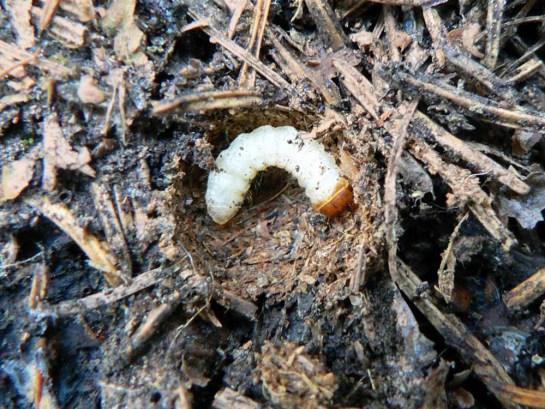 Aamaeops larva
