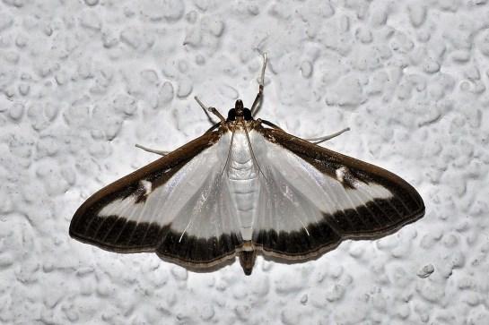 C.perspectalis