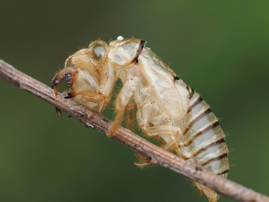 Cicadetta wylinka