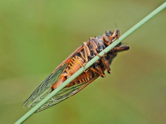 Cicadetta.