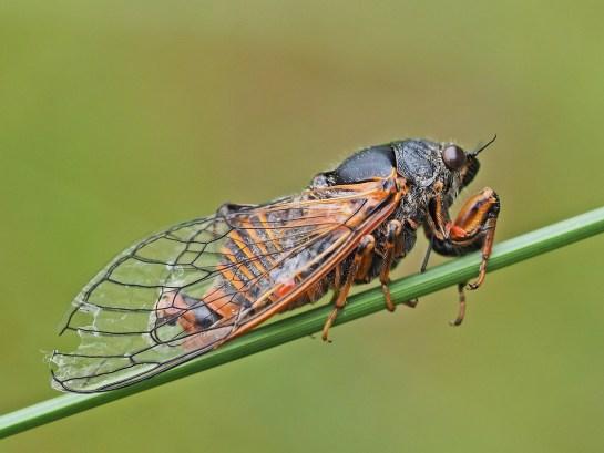 Cicadetta