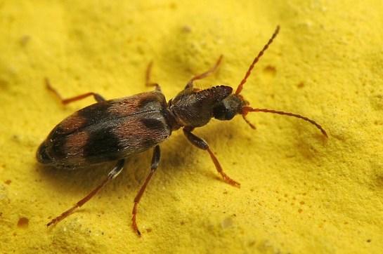 N.trifasciatus