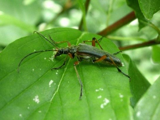 S.meridianus female