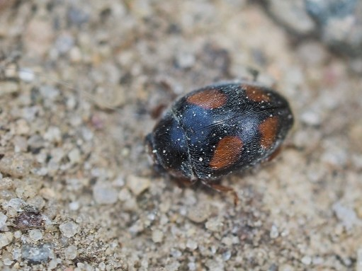 Scymnus species