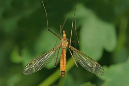 T fascipennis