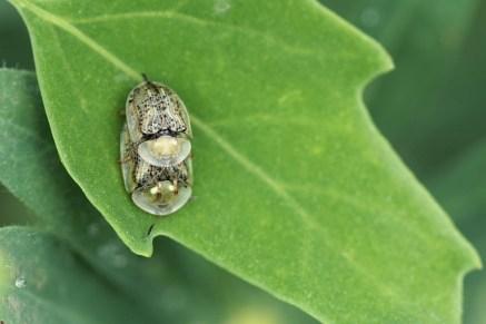 C.nebulosa