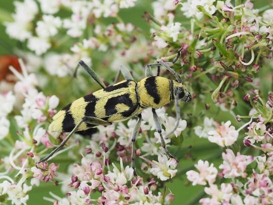 Ch. varius