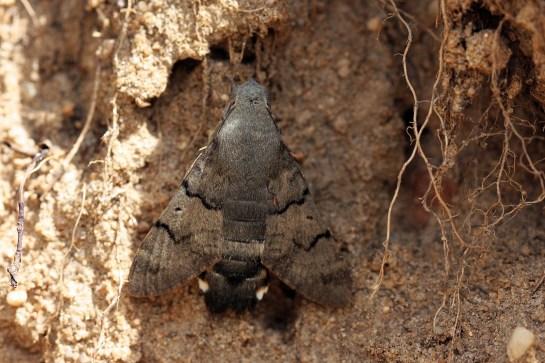 M.stellatarum