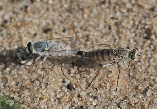 A.annulata