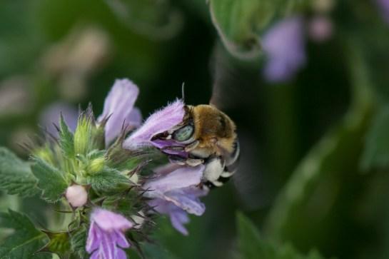 A.quadrifasciata
