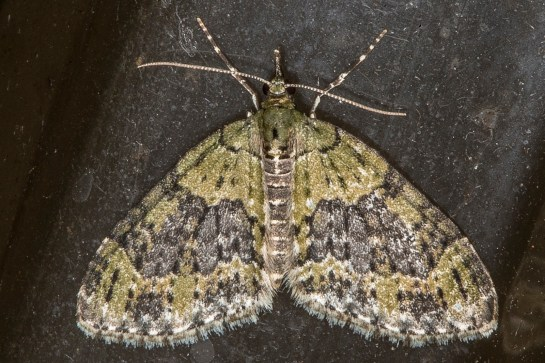 A.viretata