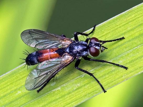 C.brassicaria