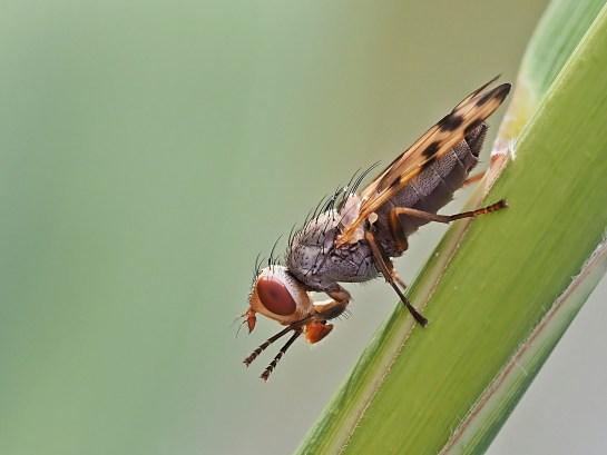 M.crassipennis