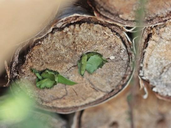 Meg. versicolor nest.