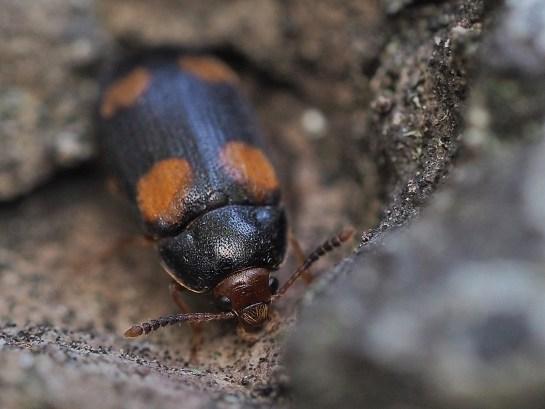 Mycetophagus.