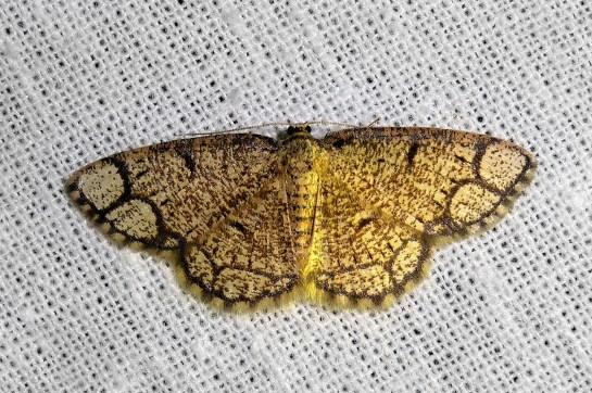 S.cararia