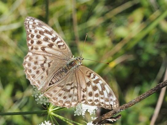 A.paphia