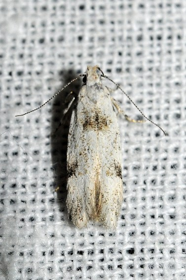 Carpatolechia