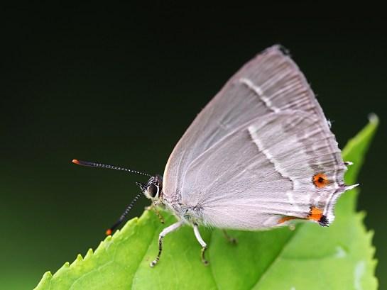 F.quercus