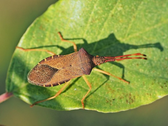 G.acuteangulatus