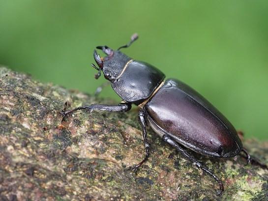 L.cervus