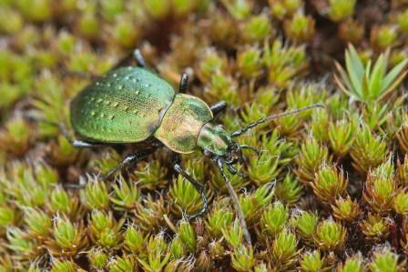 C.sylvestris transsylvanicus