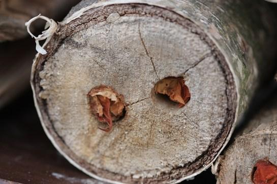 Meg. versicolor nest