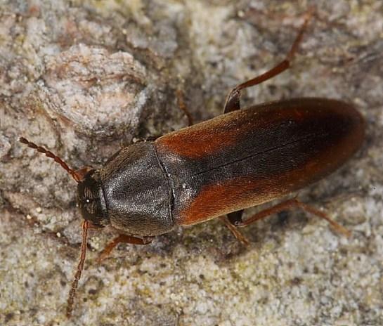 D.lividus