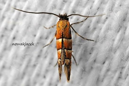 P.stettinensis