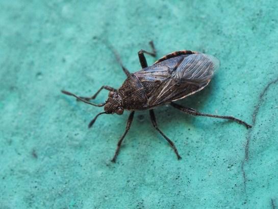 Stictopleurus species