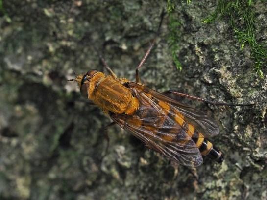 T.nobilitata