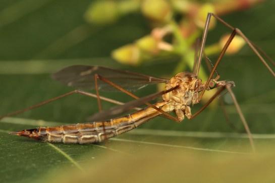 T.peliostigma