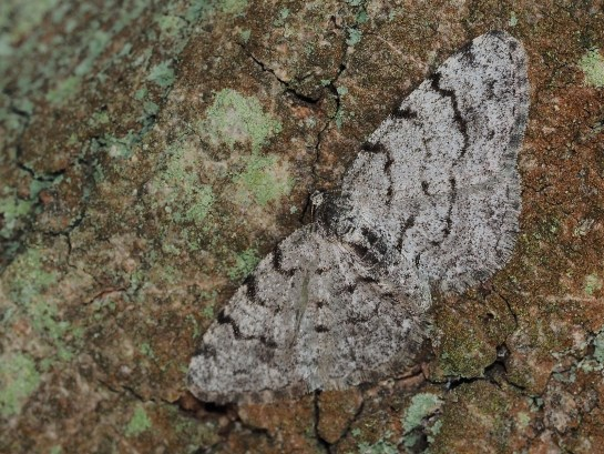 A.punctulata