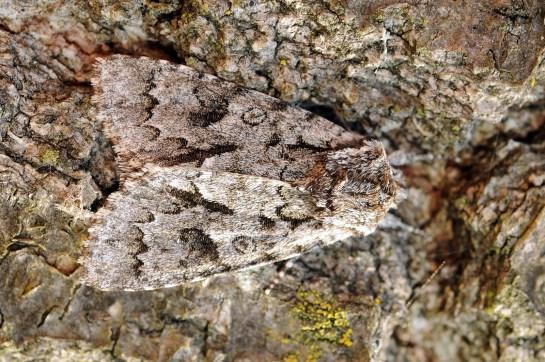 Ac.auricoma