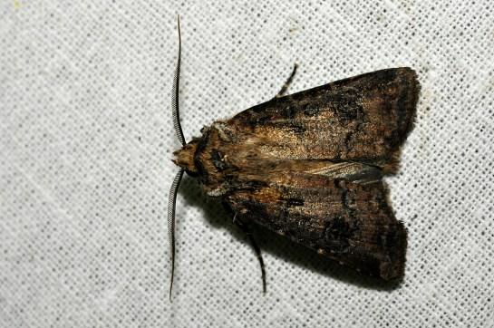 Ag.clavis