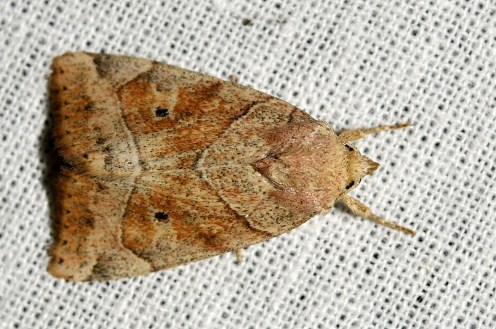 C.trapezina