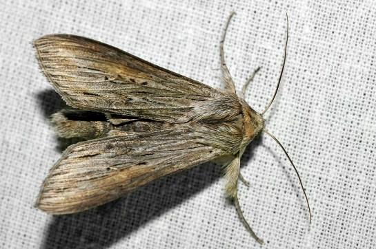 Cuc.umbratica