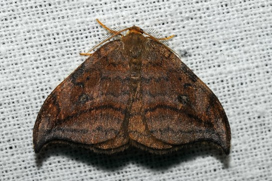 D.curvatula