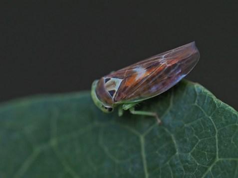 Populicerus